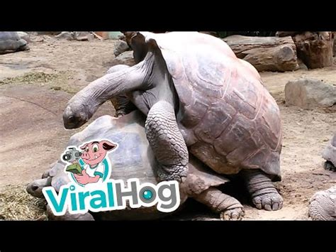 tortoise humping  shoe sounds     hell