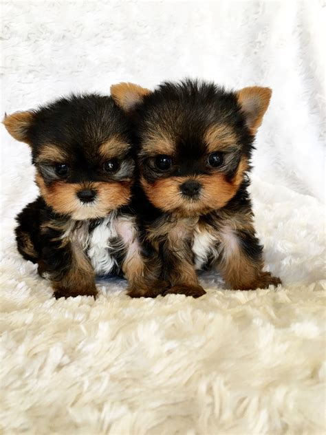 yorkie puppies california terrier breeders northern california merry photo