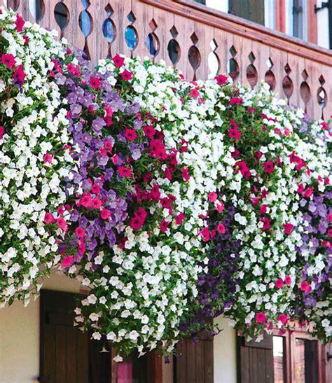 Petunien Bilder by H 228 Nge Petunie Alpetunia 174 Top Qualit 228 T Baldur Garten