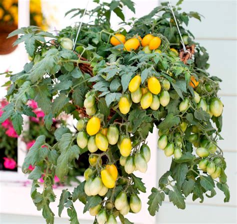 Patio Tomato | growing patio tomatoes dwarf bush variety patio tomatoes
