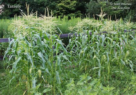 backyard corn growing corn in small spaces 6 tips