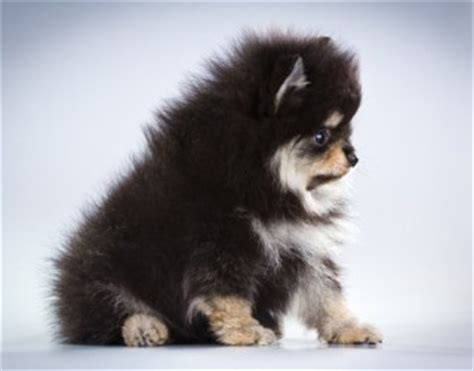 miniature teddy pomeranian puppies 10 images about puppies on teddy pomeranian cutest dogs and miniature