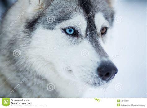 puppy primer primer perro husky siberiano imagen de archivo