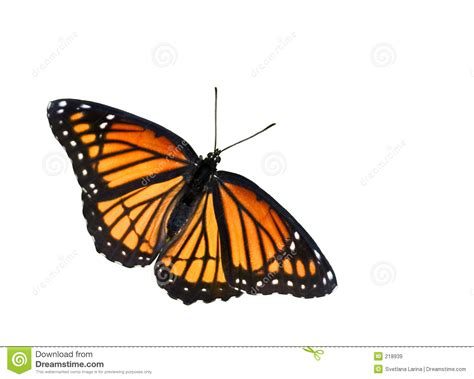 monarch butterfly stock image image of summer beauty