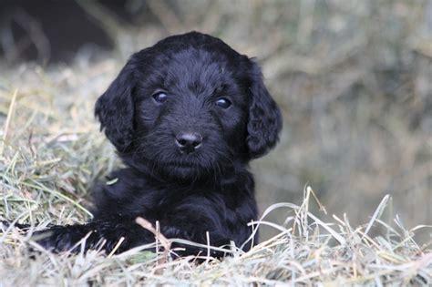 Black Goldendoodle Puppy Edgar Felix