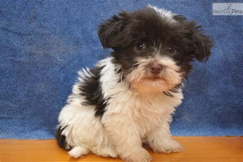 havanese breeders wisconsin havanese puppy for sale near appleton oshkosh fdl wisconsin 625b93eb cb81