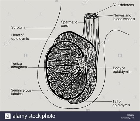 testicular diagram a line drawing of a lateral view of human