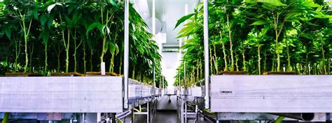 marijuana greenhouse indoor cannabis grow facility