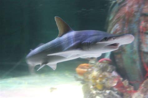 Small Sharks For Home Aquarium Study Archives Sea Lies