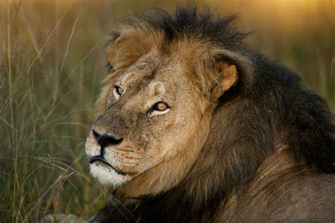 the lion and the cecil the lion died one year ago here s what s happened since