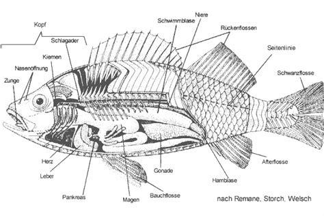 forelle schuppen morphologie und anatomie der fische