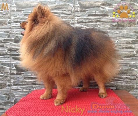 Pom Pom Warna Cur 15mm dunia anjing jual anjing pomeranian anjing pomeranian jantan warna orange