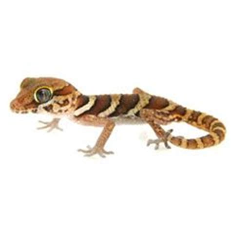 panther geckos on pinterest panthers baby and products