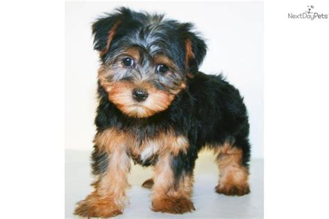 teacup yorkie facts teacup terrier facts pets baby teacup yorkie puppies for free adoption