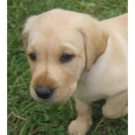 lab puppies for sale in illinois labrador retriever puppies for sale in illinois all colors blocky litle pups