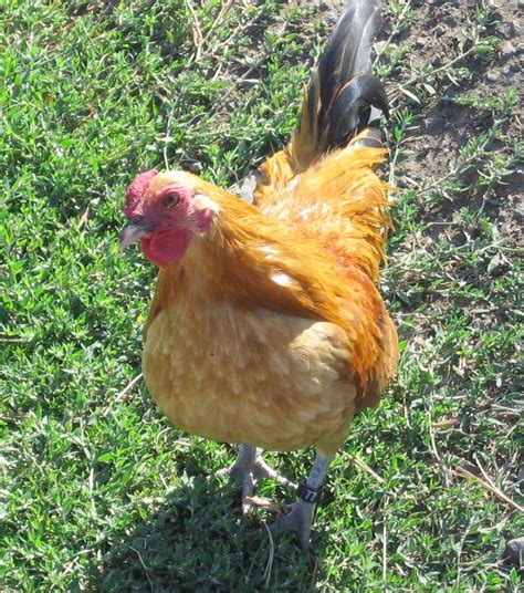 Backyard Chickens Expanding Our Understanding Of Harm Bedding Homegrown