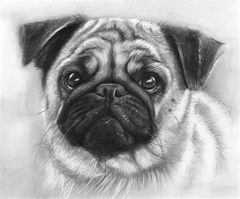 drawings of pugs pug drawing by olga shvartsur