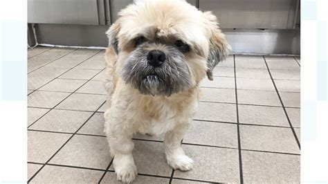 rspca shih tzu rspca appeal for information on poorly shih tzu granada itv news