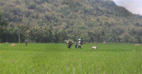 sundul langit orang sedang bekerja di sawah