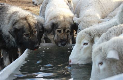 sheep guard dogs the rise of livestock guardian dogs 171 yellowstone valley
