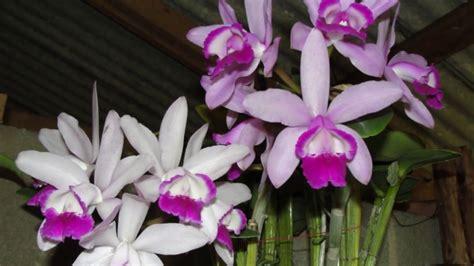 brazilian orchids part 5 nursery 2 doovi