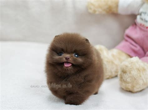 chocolate pomeranian puppy pomeranian puppy puppies