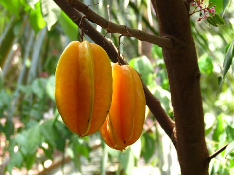 carambola fruit tree file averrhoa carambola fruit jpg wikimedia commons
