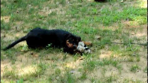 12 week rottweiler puppy impera 12 week rottweiler puppy with unstuffed fox