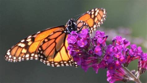 working   save  monarch butterfly mnn