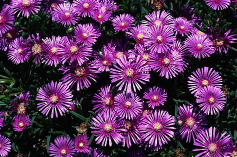 Purple Garden Flower Purple Garden Flower Wallpapers Garden Wallpapers