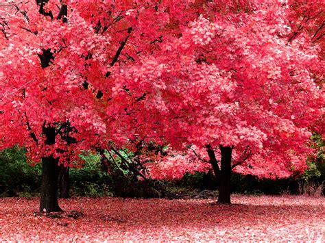 bäume garten pink b 228 ume hintergrundbilder pink b 228 ume fotos