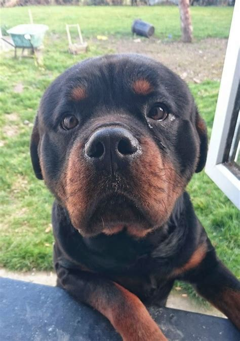are german rottweilers family dogs 10 best ideas about german rottweiler on rottweiler puppies rottweilers