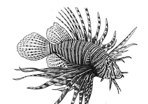 Free A Lionfish Coloring Pages Lionfish Coloring Page