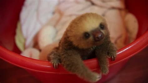 cute baby sloth in costa rica, meet Hope   YouTube