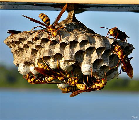 Bees That Make Paper Nests - paper wasp nest removal abc humane wildlife