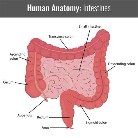 small intestine anatomy diagram small intestine vs large intestine pictures to pin on