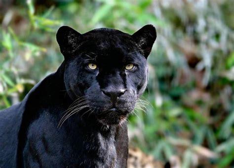 black leopard super animal panther