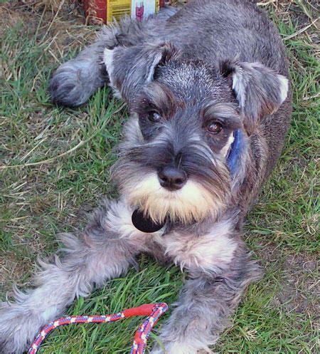 schnauzer puppy cut miniature schnauzer cuts breeds picture