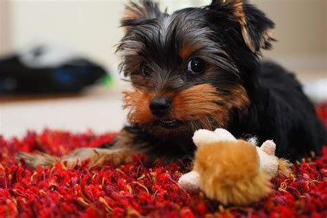 yorkie chew toys 27 pictures of terriers