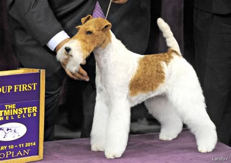 terrier show sky the wire fox terrier wins best in show at westminster