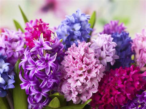 Exclusive Home Interiors by How To Grow Hyacinths Saga