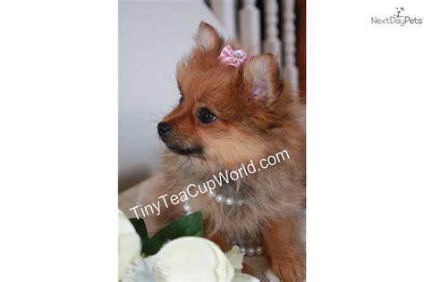 baby doll pomeranian for sale pomeranian puppy for sale near arizona 194db6be 9601