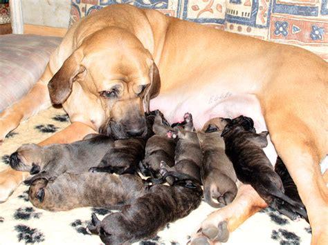 fila brasileiro puppies fila brasileiro mastiff info temperament puppies pictures
