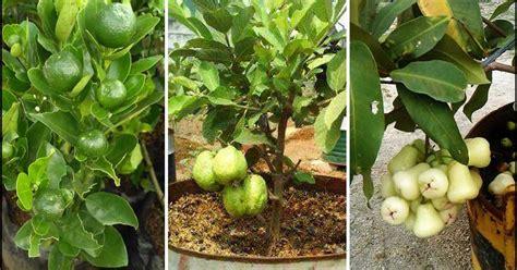 pengertian tabulampot tanaman buah  pot sampul