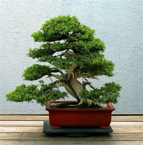 Ginseng Termahal bonsai alberi in ciotola pollicegreen