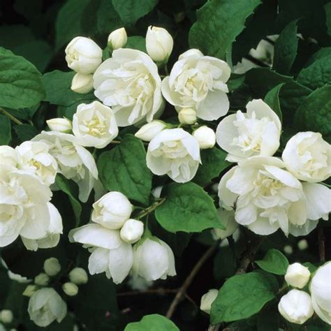 white flower shrub fragrant the cottage wedding events and sun on