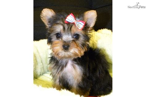 blue and gold teacup yorkie tiny teacup blue gold terrier yorkie puppy for sale near las