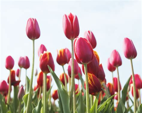 canada floral delivery blog gardening with tulips