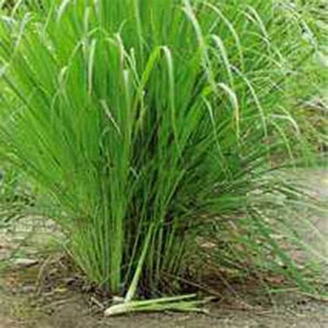 Minyak Serai Wangi jual tanaman obat herbal sereh minyak serai wangi
