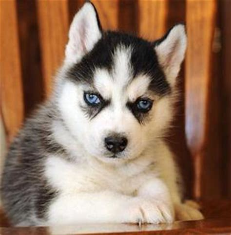 siberian husky puppies for sale in nc nc 1 siberian husky puppies healthy and